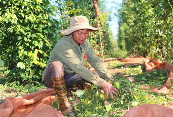 Người dân ở xã Ia Blang, huyện Chư Sê, tỉnh Gia Lai thu hoạch hồ tiêu vụ 2020-2021