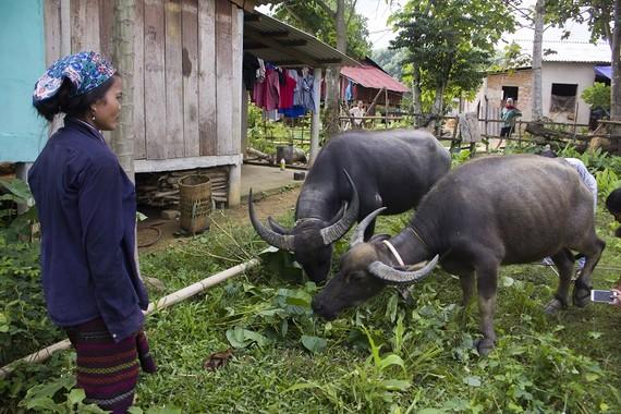 Quảng Trị: Cấp trâu, bò hỗ trợ giảm nghèo làm lây lan dịch bệnh