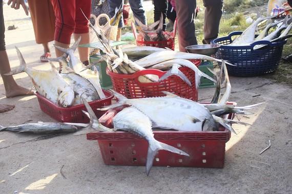 Ngư dân được mùa cá bè xước