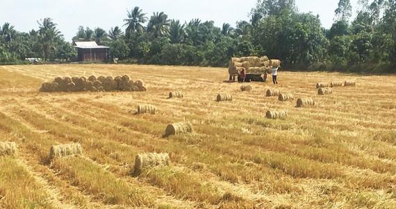Vụ đông xuân năm 2021, nông dân ĐBSCL sản xuất lúa đạt năng suất cao, lợi nhuận tăng