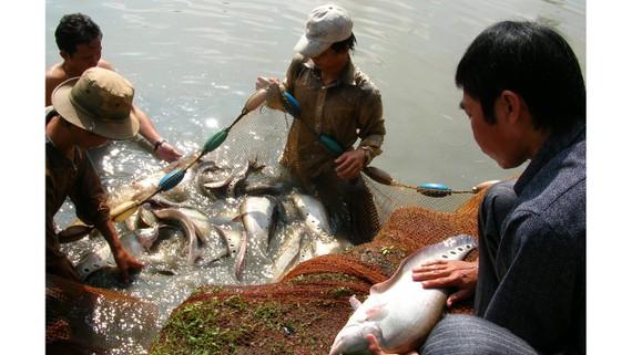 Thu hoạch cá thác lác