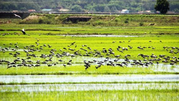 """Đàn chim """"lạ"""" cả ngàn con xuất hiện tại cánh đồng Quảng Ngãi"""