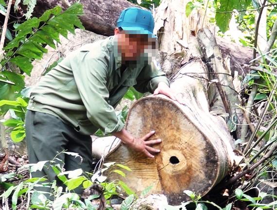 Cây rừng tự nhiên đường kính lớn bị các đối tượng cưa hạ trong vụ phá rừng