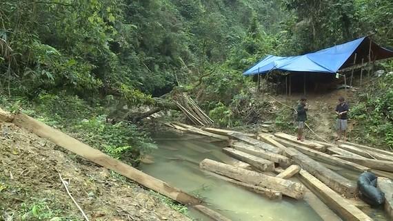 Gỗ lậu trong rừng phòng hộ Tuyên Hóa. Ảnh: CTV