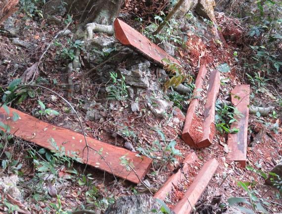 Rừng mun vùng lõi di sản Phong Nha - Kẻ Bàng bị chặt phá gần đồn biên phòng Cồn Roàng