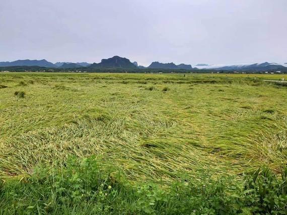 Cánh đồng lúa xã An Ninh, huyện Quảng Ninh, Quảng Bình ngã rạp