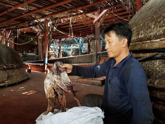Fishermen in Nui Thanh District are unable to sell dried purple-back squids to China as the buyer has changed import method. (Photo: SGGP)