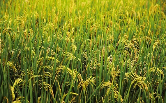 Rice production in southern provinces drops by 23,000 tons