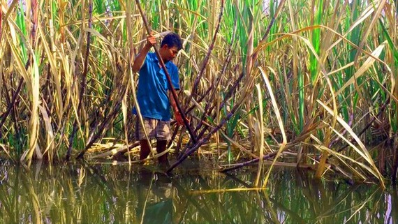 Several areas of sugarcanes are flooded, causing their leaves to turn yellow. (Photo: SGGP)