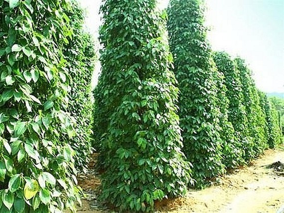 International pepper conference discusses solutions on sustainable development