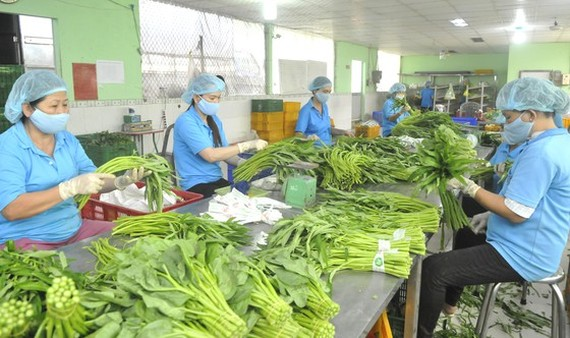 Preliminary processing of vegetables for export and domestic consumption at Phuoc An Agricultural Cooperative in Binh Chanh District in Ho Chi Minh City. (Photo: SGGP)