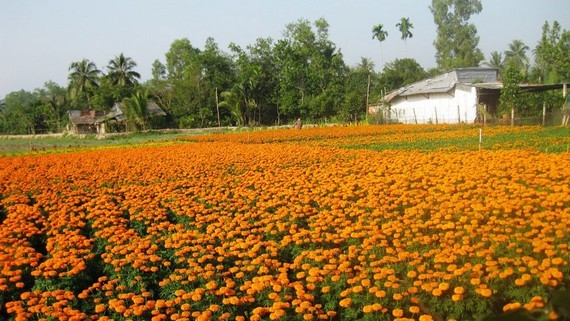 The flower village in Cho Lach District in Ben Tre Province has sold out about 80 percent of flower production at higher prices than last year. (Photo: SGGP)