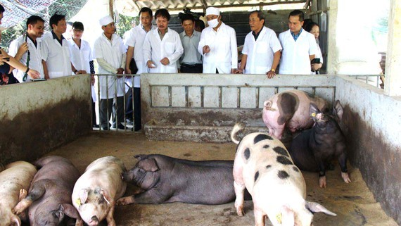 Provinces strengthen inspection after the African swine fever outbreaks. (Photo: SGGP)