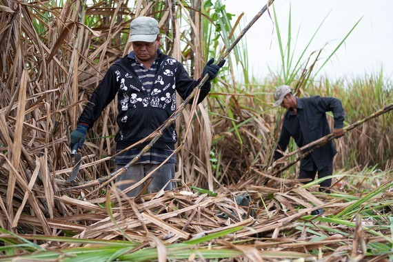 The ASEAN Trade in Goods Agreement creates huge pressure on the domestic sugar industry. (Photo: SGGP)