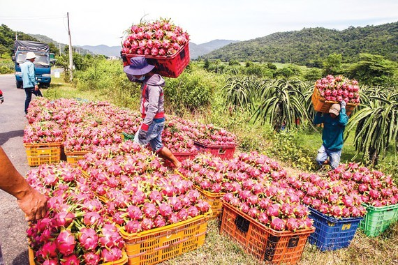 Dragon fruits are unable to export to China due to the outbreak of the novel coronavirus. (Photo: SGGP)