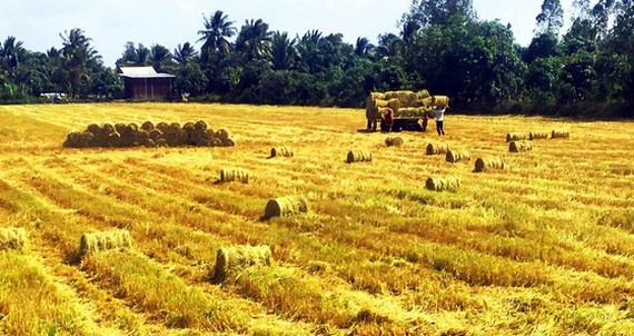 Farmers harvest early winter-spring rice in the Mekong Delta. (Photo: SGGP)