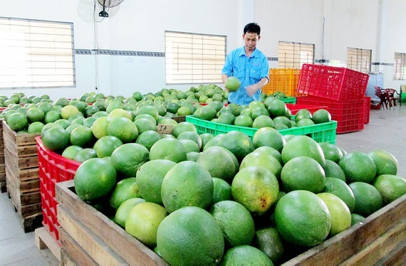 Price of green-skinned pomelos falls sharply due to poor consumption