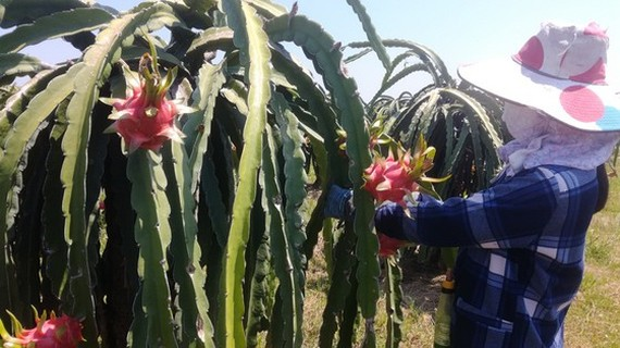 The price of dragon fruits unexpectedly recovers but the supply is scarce. (Photo: SGGP)