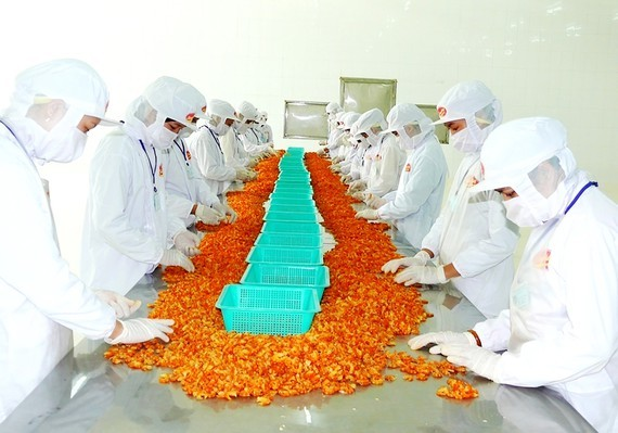 Workers process shrimps for export in the Mekong Delta. (Photo: SGGP)