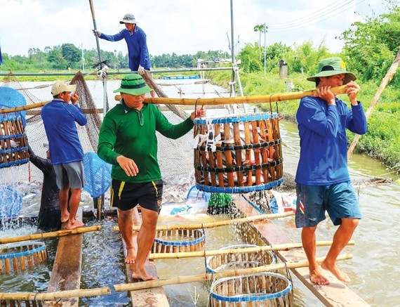 Farmers harvest pangasius fish. (Photo: SGGP)