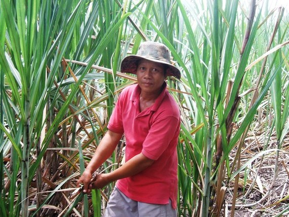 The area of sugarcane in the Mekong Delta is reduced sharply. (Photo: SGGP)