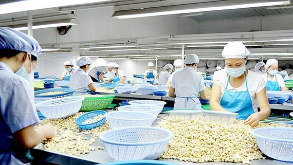 The cashew processing industry in Binh Phuoc Province lacks both capital and raw materials. (Photo: SGGP)