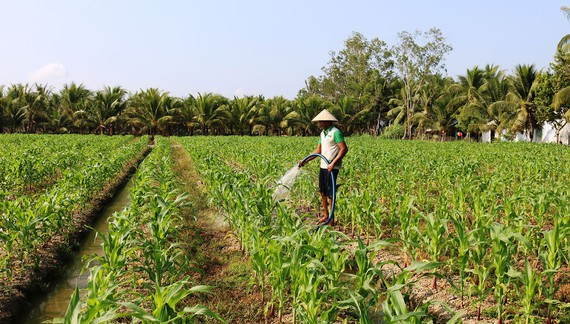Farmers in Tra Vinh Province grow corn on rice-growing land. (Photo: SGGP)