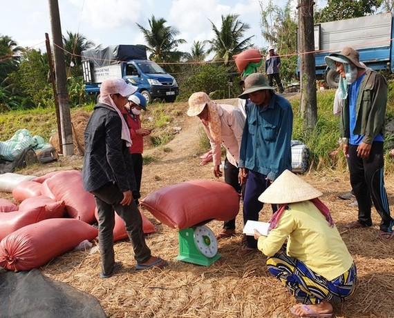 The prices of paddy in the Mekong Delta tend to slightly decline. (Photo: SGGP)