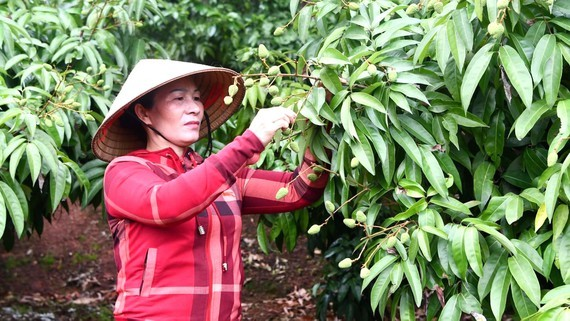The woman taking care of a litchi orchard in Bac Giang province