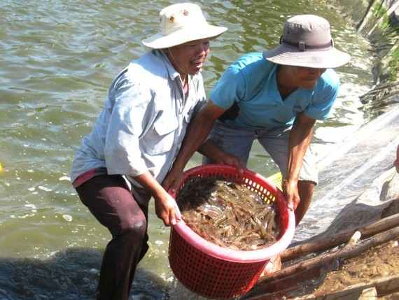 Farmers harvest shrimps in Soc Trang Province. (Photo: SGGP)