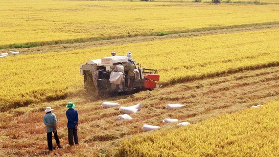 Farmers harvest rice in the Mekong Delta (Photo: SGGP)