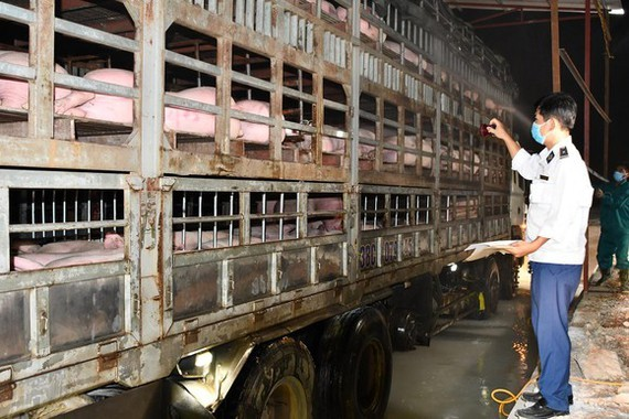 Live pigs imported from foreign countries are quarantined at Cau Treo Border Gate in Ha Tinh Province. (Photo: MARD}