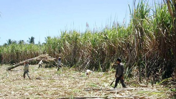 Farmers harvest sugarcane in the Mekong Delta. (Photo: SGGP)