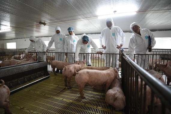 A delegation led by the Minister of Agriculture and Rural Development visits pig farms in My Duc Commune in Hai Phong City. (Photo: SGGP)