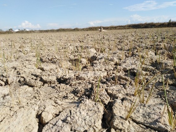 Rice fields in Nghe An Province are dry because of hot temperatures and a shortage of water. (Photo: SGGP)