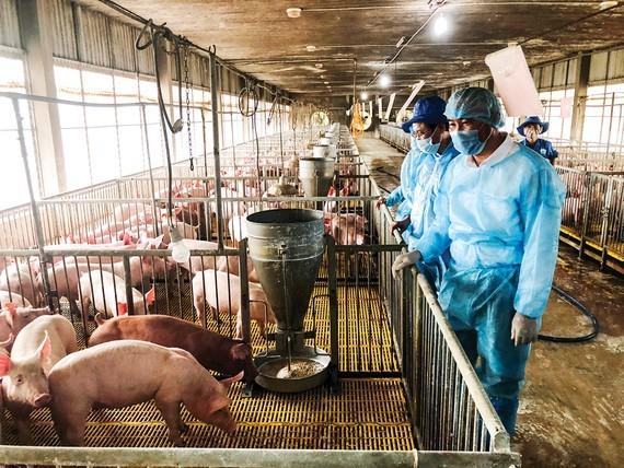 Pig repopulation sluggish due to shortage of piglets
