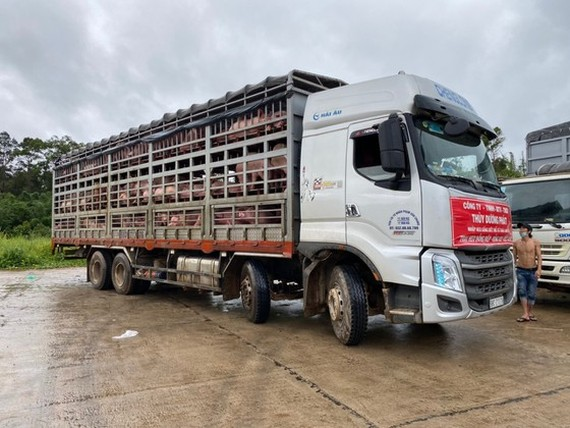 Thuy Duong Phat Company is carrying out procedures to import 1,000 commercial hogs at Bo Y border gate in Kon Tum Province to transport them to Dong Nai Province. (Photo: SGGP)