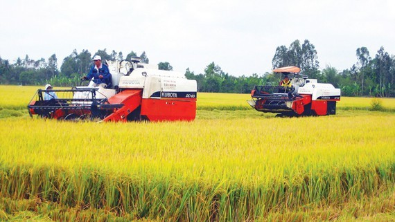 Large-scale rice field in the Mekong Delta. (Photo: SGGP)