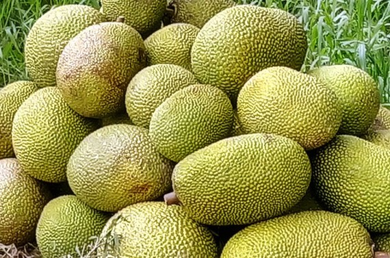 The price of Thai jackfruit climbs sharply. (Photo: SGGP)