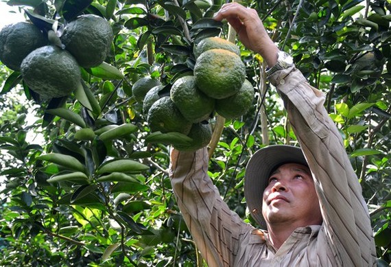 The area of fruit trees in the Mekong Delta increases ceaselessly. (Photo: SGGP)