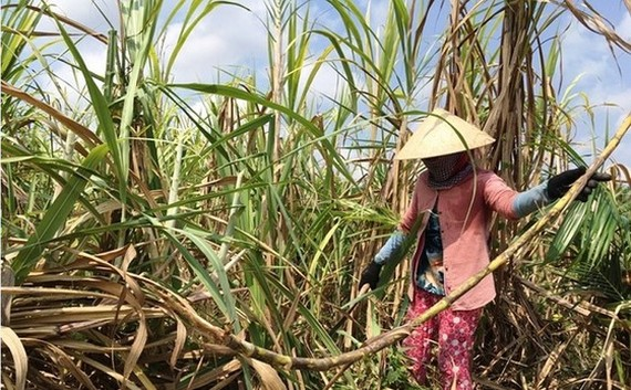 The domestic sugar industry is facing difficulties as foreign sugar undersells. (Photo: SGGP)