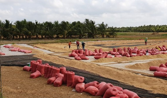 Rice prices continue to remain at high levels, helping farmers in the Mekong Delta to ensure profits. (Photo: SGGP)