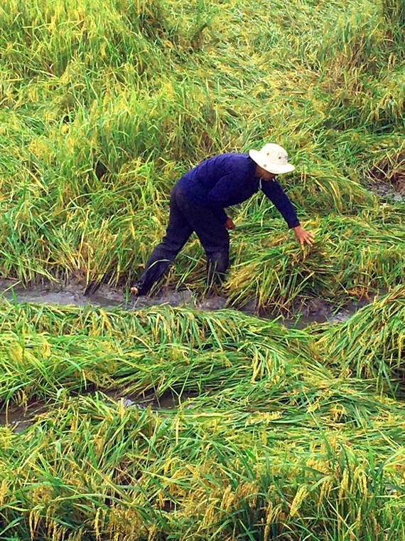 More than 6,000 hectares of rice were fallen, causing heavy losses to farmers in Hau Giang Province.  (Photo: SGGP)