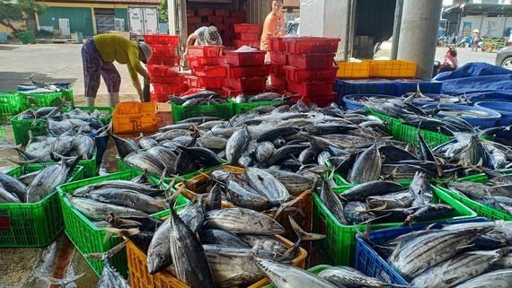 Fishermen in Khanh Hoa Province enjoy bumper catch of skipjack tuna. (Photo: SGGP)