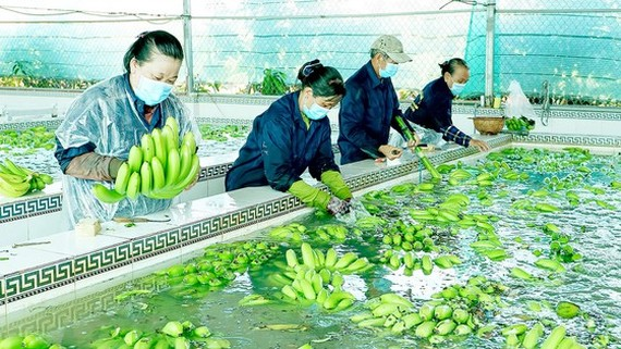 The production of high-tech bananas for export in An Giang Province. (Photo: SGGP)
