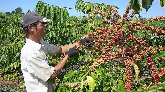 Coffee is one of key export products of Vietnam to Poland. (Photo: SGGP)