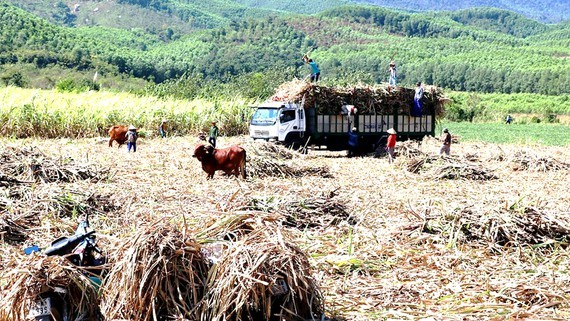 Farmers face difficulties when sugarcane prices drop drastically. (Photo: SGGP)