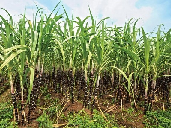 Sugarcane (Source: VNA)