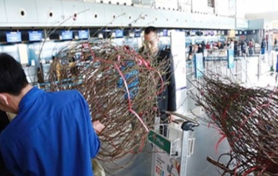 Local airlines start carrying apricot, peach blossoms for Tet holidays next week