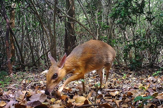 A silver-backed chevrotain is spotted by a camera trap on June 21, 2018 (Source: AFP/VNA)